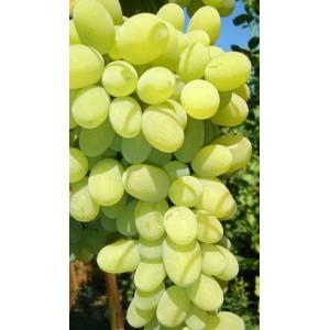 ? Саженцы винограда - купить саженцы винограда в Красноярске в интернет-магазине питомника по цене от 191 рублей